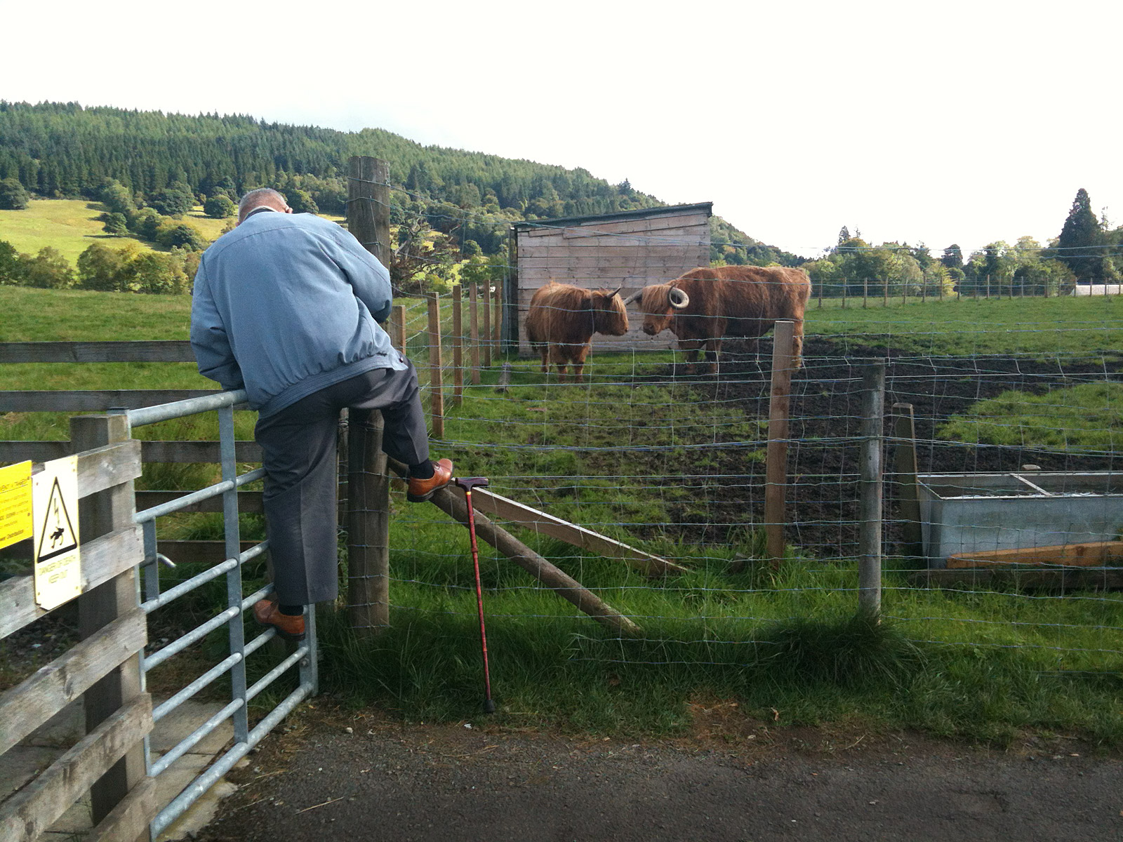 A man climbing on a gate and fence to photograph two highland cows  at Trossachs Wollen Mill, Kilmahog near Callander in Perthshire, Scotland